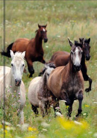 Pferde - liniert Art.-Nr.: 41383