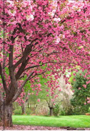 Kirschblüte - liniert Art.-Nr.: 41391